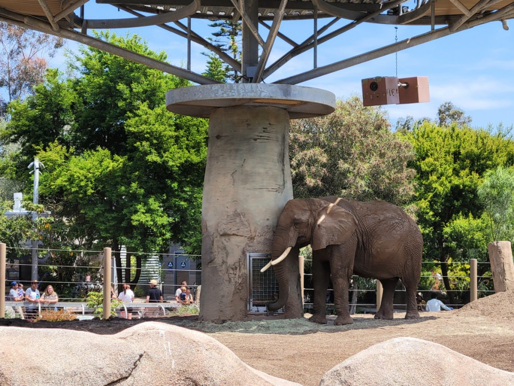 asian elephant in exhibit at the san diego zoo