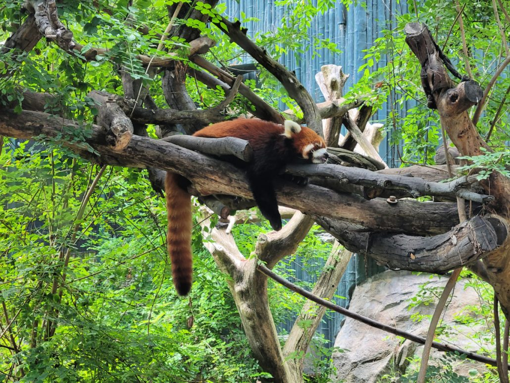 red panda sleeping in a tree at the San Diego Zoo